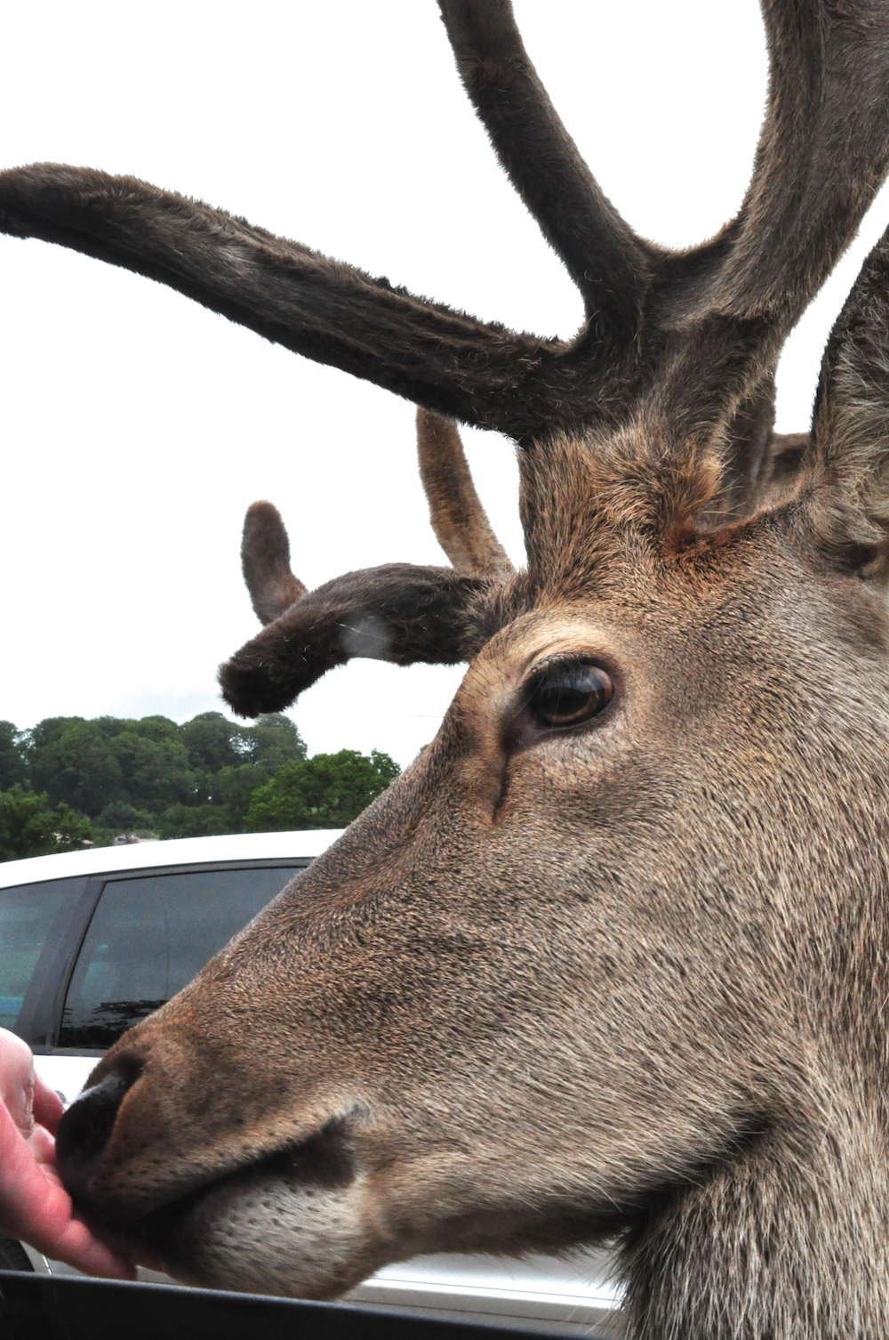 Longleat_feed-the_deer