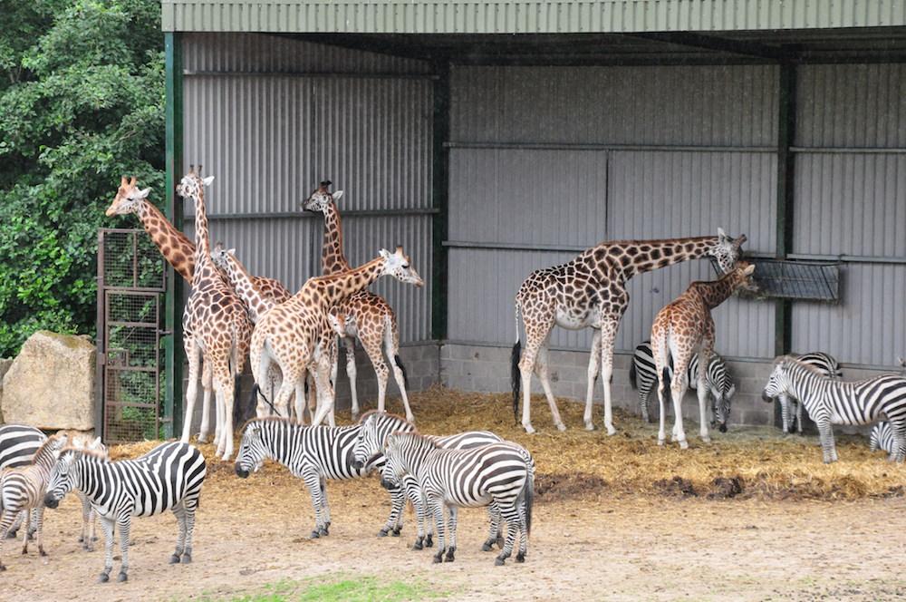 Longleat_giraffe_zebra