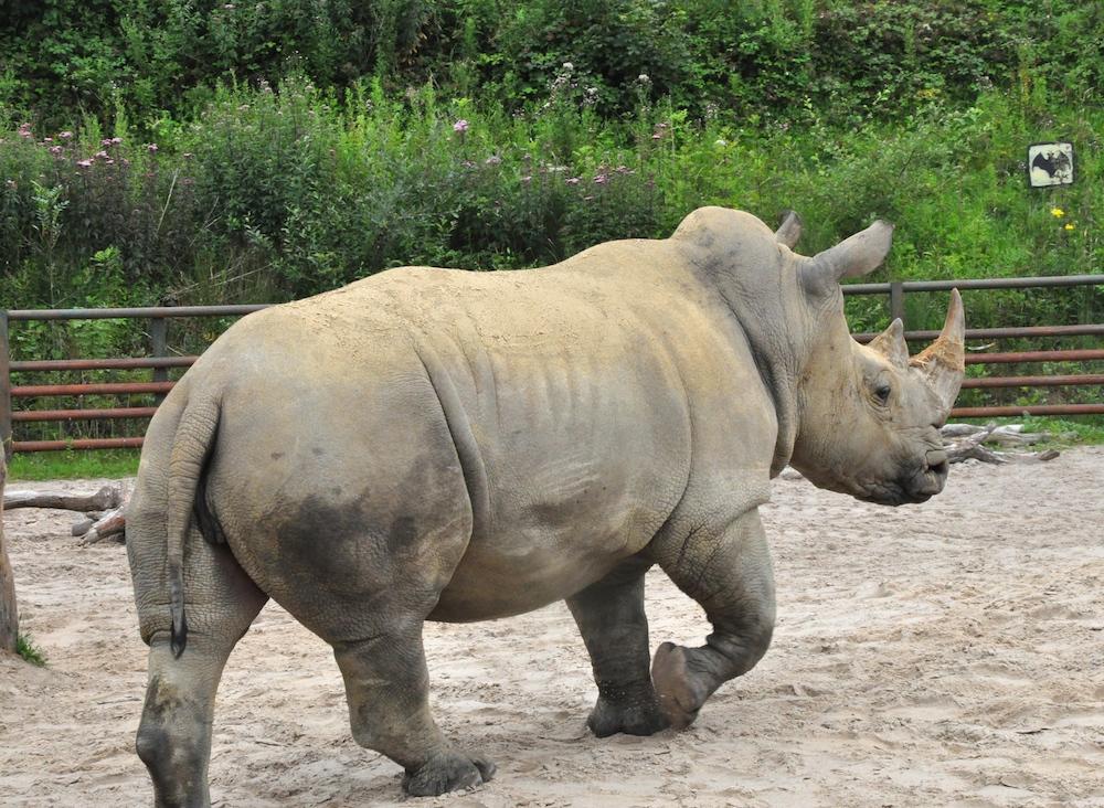 Longleat_rhinos