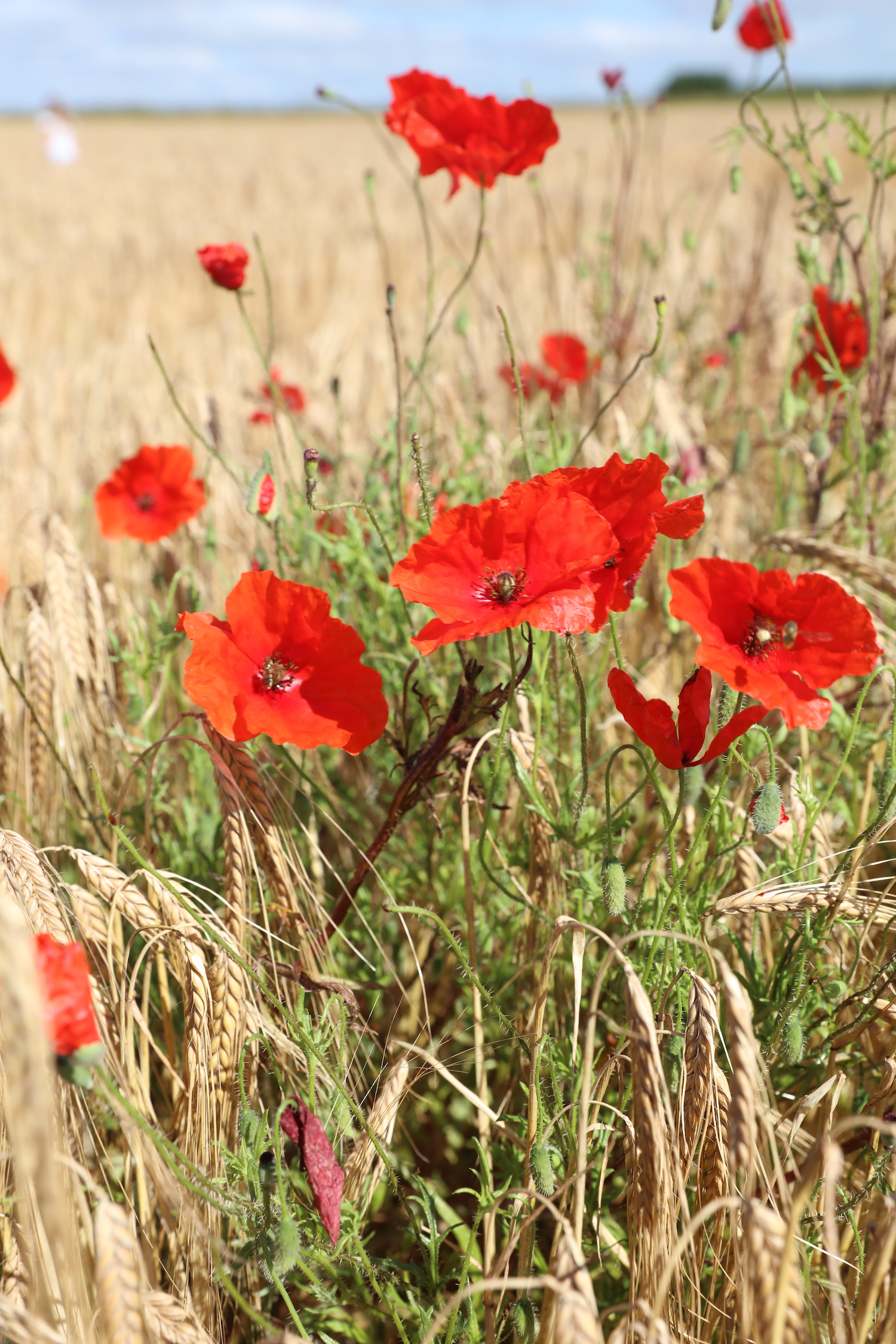 poppies_crop_circle